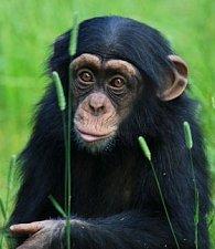 Pohlednice 3D movie šimpanz