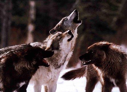 Náhled Vlci u našich dveří