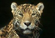 Pohlednice 3D jaguár