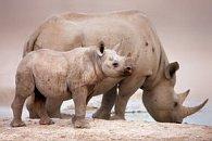 Pohlednice 3D nosorožec s mládětem