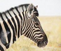 pohlednice 3D čtverec movie zebra
