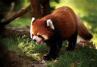 Pohlednice 3D panda červená