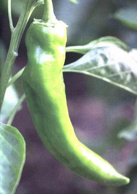 Náhled Někdo to rád pálivé - Úplný průvodce pěstováním, sklízením a uchováváním chilli papriček