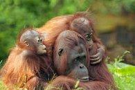 Pohlednice 3D orangután s mláďaty