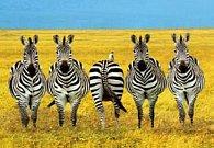 Pohlednice 3D zebry