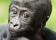 Pohlednice 3D gorila mládě
