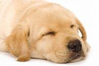 Pohlednice 3D čtverec retrívr štěně spící