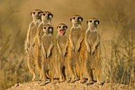 Pohlednice 3D surikaty II