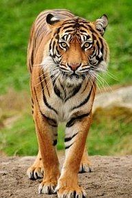 Pohlednice 3D tygr