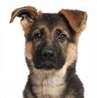 Pohlednice 3D štěně vlčák