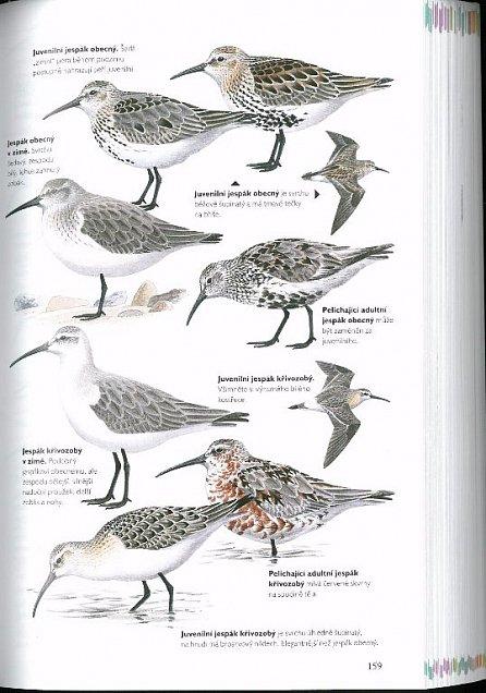 Náhled Příručka k určování ptáků se zaměřením na podrobný popis snadno zaměnitelných druhů