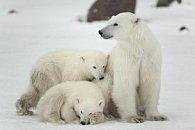Pohlednice 3D lední medvědi II