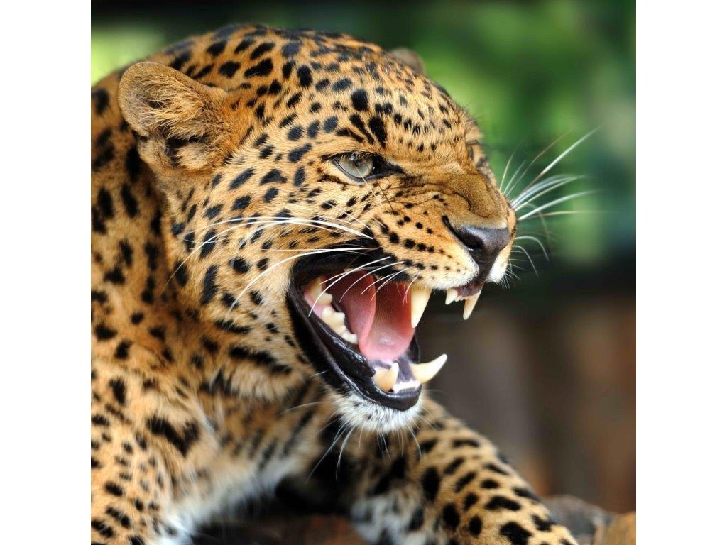 Pohlednice leopard 3D